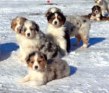 Northridge Australian Shepherds :: Australian Shepherds in Ohio